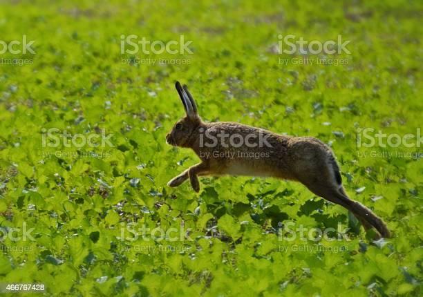 Hopping hare picture id466767428?b=1&k=6&m=466767428&s=612x612&h=ni61212jtd7vvpk7bcag q 7k8ddviaq mixv00ll2k=