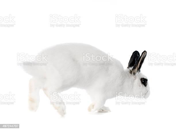 Hopping rabbit isolated on white picture id497244707?b=1&k=6&m=497244707&s=612x612&h=xr6qhkgwxxbyj6gjwdvhsuembql04afmyspw9mv4res=