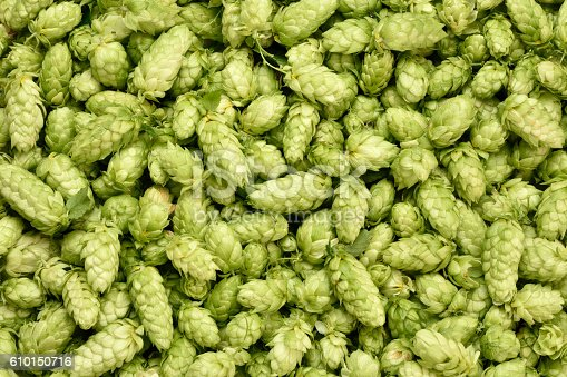 Hops (Humulus lupulus, SYBILLA) background. Fresh hoppy cones.