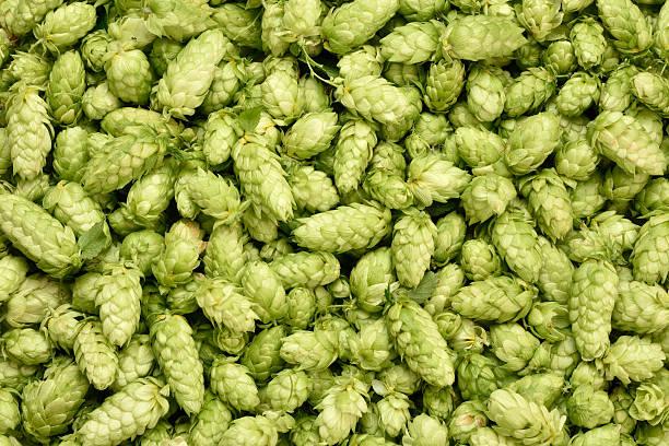 Hops background. stock photo
