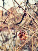 Close uo of a frozen hops blossom