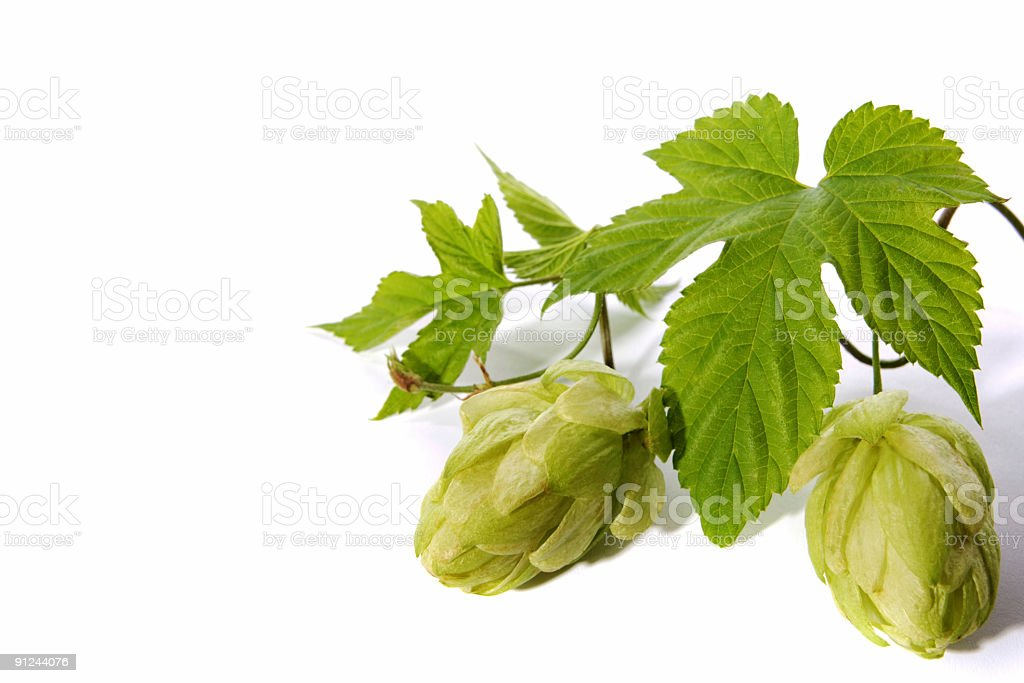 hops bunch royalty-free stock photo