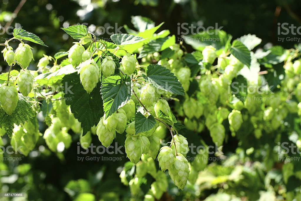 Hops closeup royalty-free stock photo