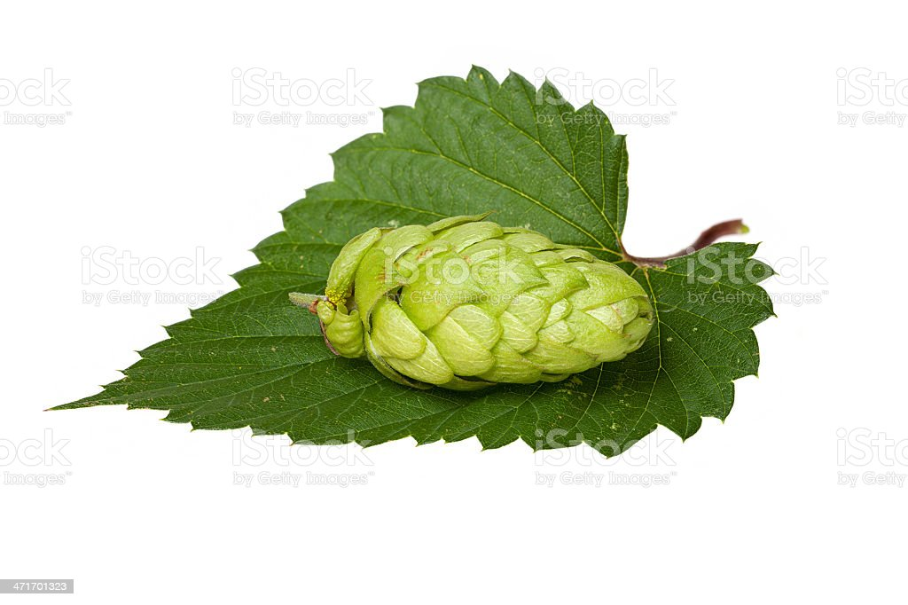 Hops cone on leaf royalty-free stock photo