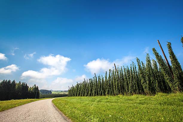 Hops Crops in Agricultural Region - Landscape stock photo