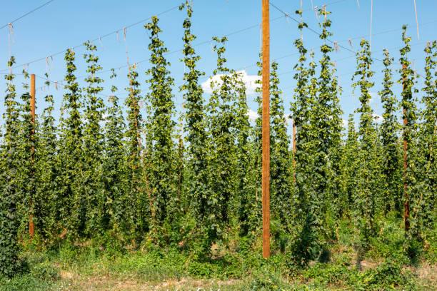 Hops Farm stock photo