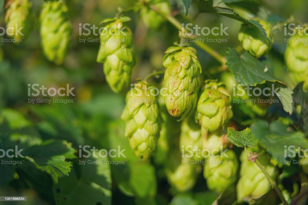 Hops growing during summer in nature used for beer brewing stock photo