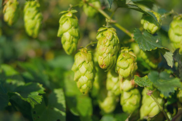 Hops growing during summer in nature used for beer brewing - foto stock