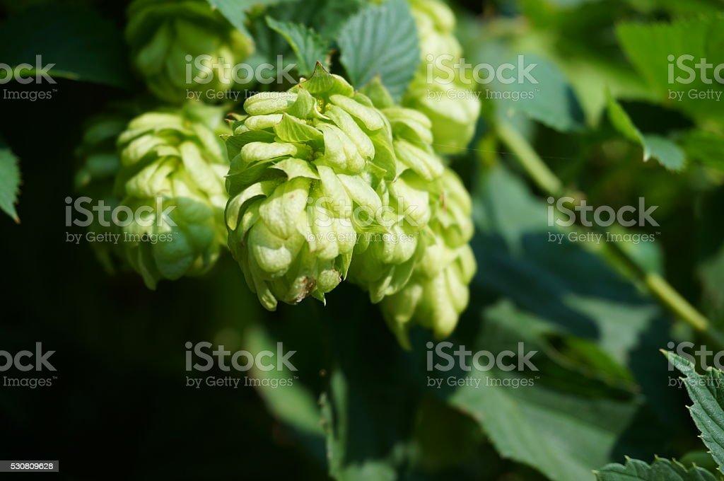 Hops on the vine stock photo