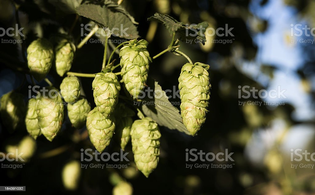 Hops Plants Buds Growing in Farmer's Field Oregon Agriculture royalty-free stock photo