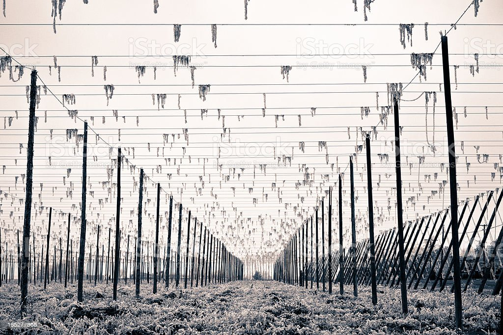 Hops Trellis In Winter stock photo