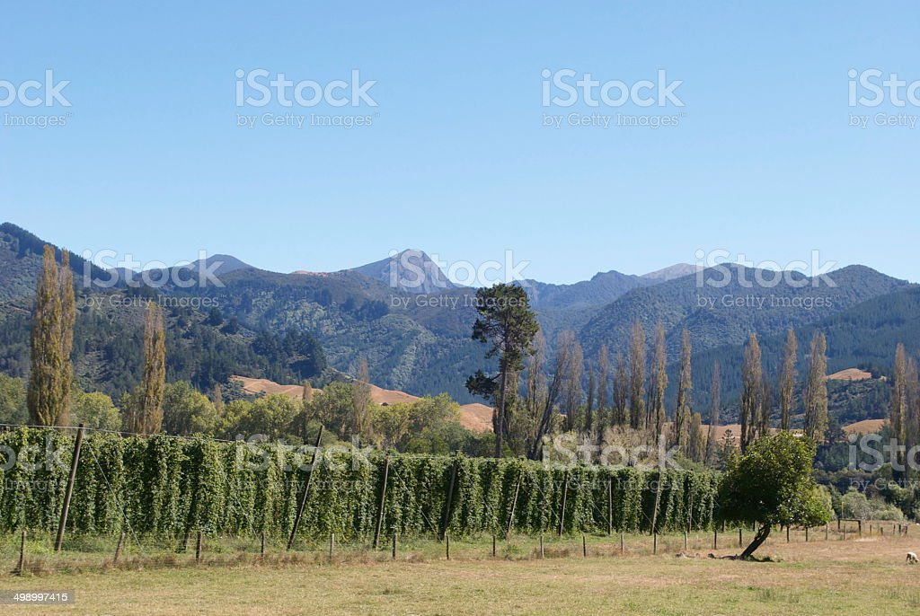 Hops Vines, Motueka Valley, Tasman Region, NZ stock photo
