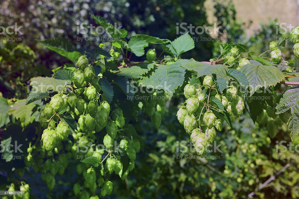 Hops with leafs royalty-free stock photo