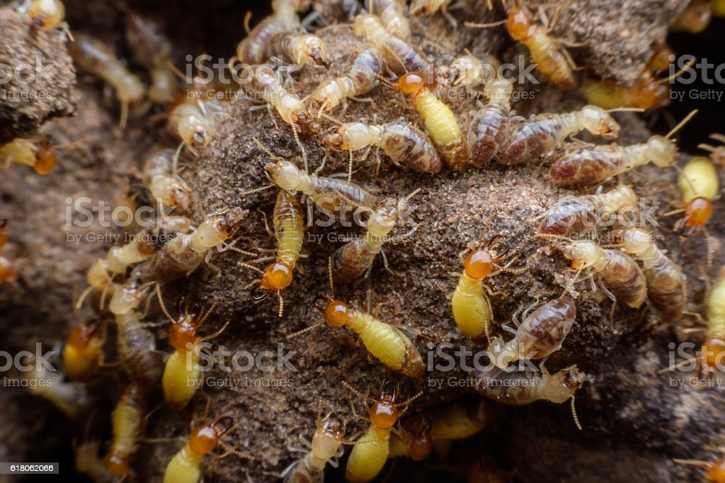 Hordes of termites building their nest stock photo