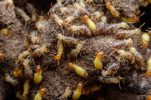 Hordes of termites building their nest Hordes of termites building their nest isoptera stock pictures, royalty-free photos & images