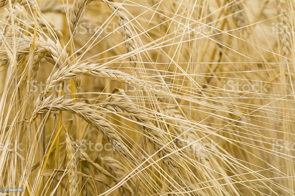 Hordeum distichon, barley, spikes royalty-free stock photo