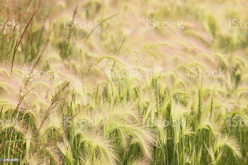 Hordeum jubatum Squirreltail Grass Tussocks stock photo