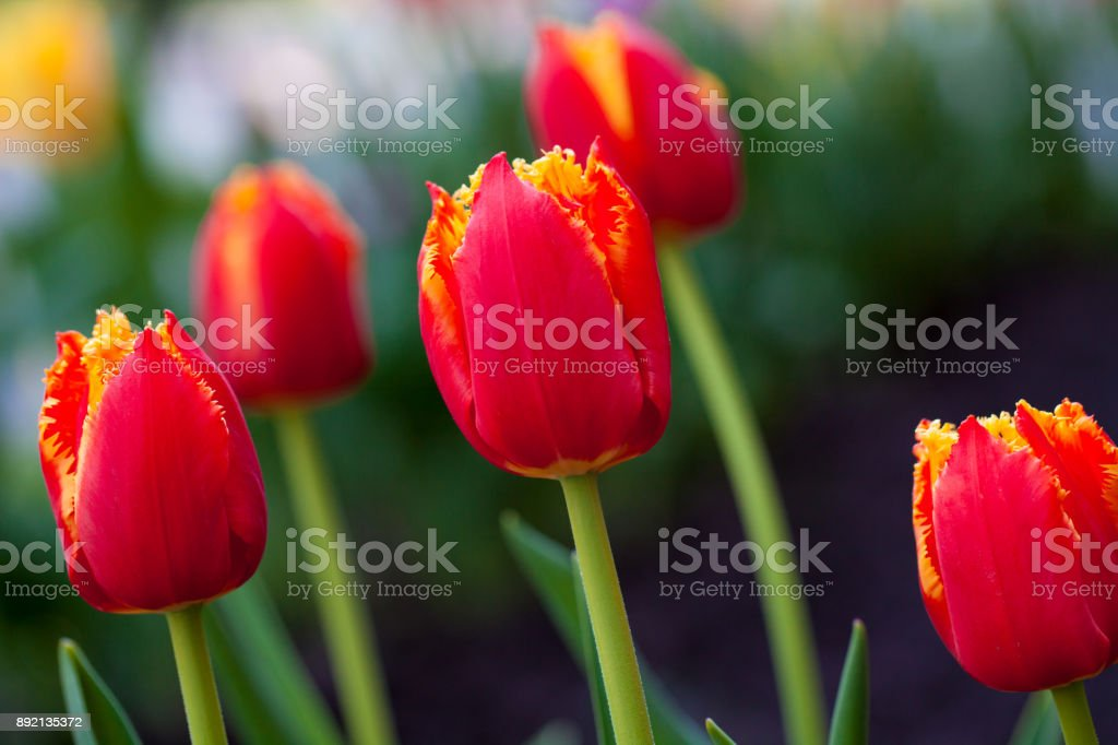 Horizontal Abstract background. Beautiful red tulips. Flowerbackground, gardenflowers. Garden flowers stock photo