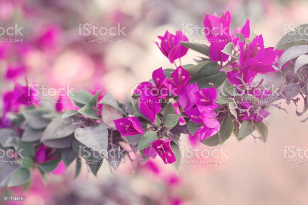 Horizontal background with bougainvillea glabra tree with bright horizontal background with bougainvillea glabra tree with bright pink flowers spring blossom paperflower mightylinksfo