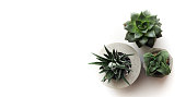 Horizontal banner with succulents in a concrete pot. Home plants on a white background. Top view with plenty of space for your text and design. Green flowers for loft style.