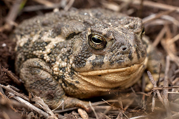 A Boreal toad sits near Turkey Creek in the Bear Creek Lake State Park. Colorado's only alpine amphibian, the boreal toad, once was common in montane habitats between 7,000-12,000 feet in the Southern Rocky Mountains. The boreal toad (Bufo boreas boreas) has experienced dramatic population declines over the past two decades. Reasons for the declines appear to be related to infection by the chytrid fungus Batrachochytrium dendrobatidis (Bd). The boreal toad is presently listed as an endangered species by both Colorado and New Mexico, and is a protected species in Wyoming.