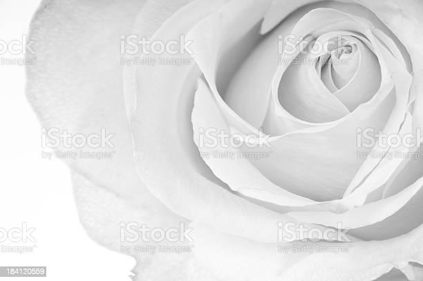 Horizontal bw of white rose picture id184120559?b=1&k=6&m=184120559&s=612x612&h= bizm8xn rdpzqbow5bgylre 7iz 9 rlspmzgpkzu4=