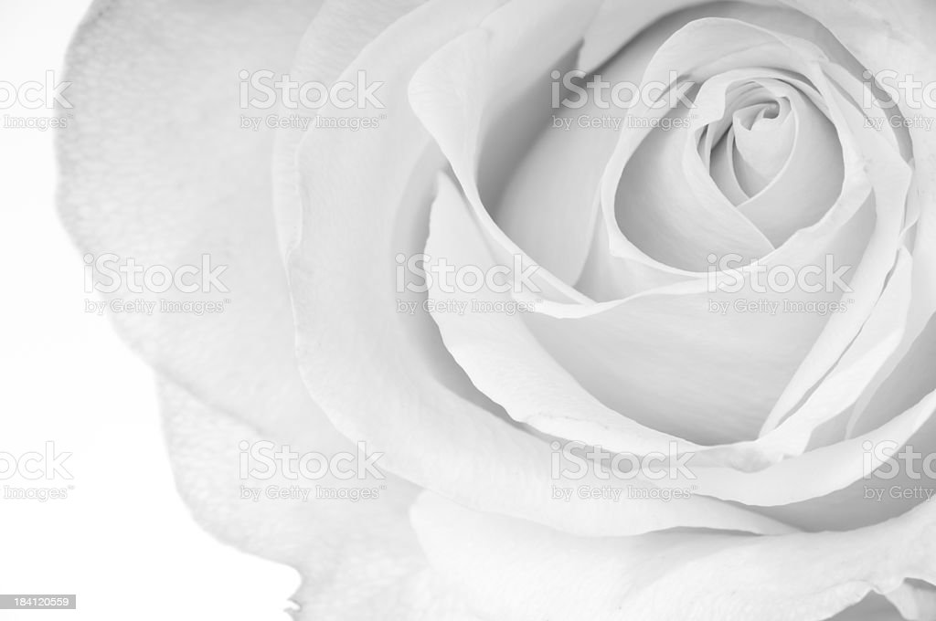 Horizontal B&W of white rose. stock photo
