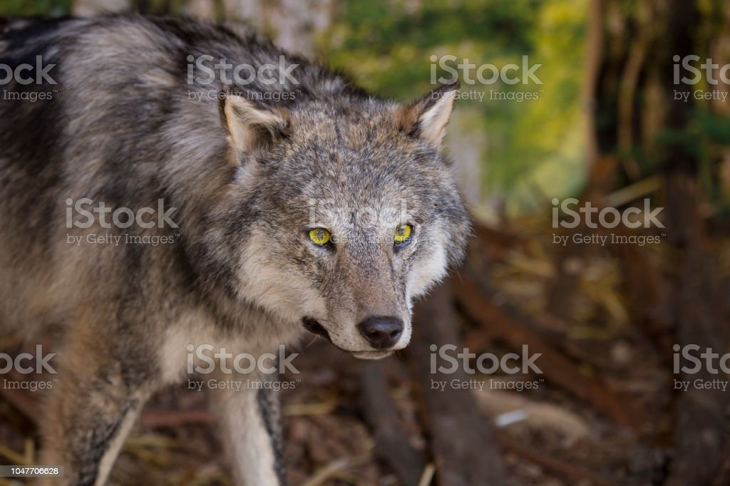 horizontal image with portrait and detail of a wolf stock photo