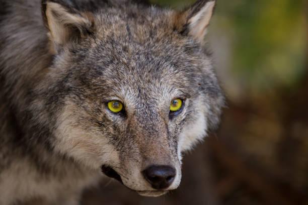 horizontal image with portrait and detail of a wolf - lobo cinzento imagens e fotografias de stock