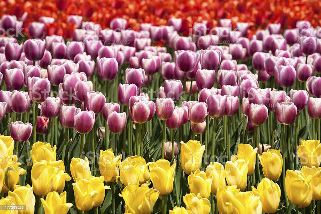 Horizontal line of tulips royalty-free stock photo
