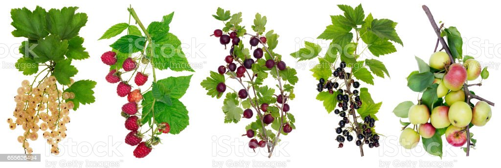 Horizontal panel collage with isolated branches with ripe simple european berries. – Foto