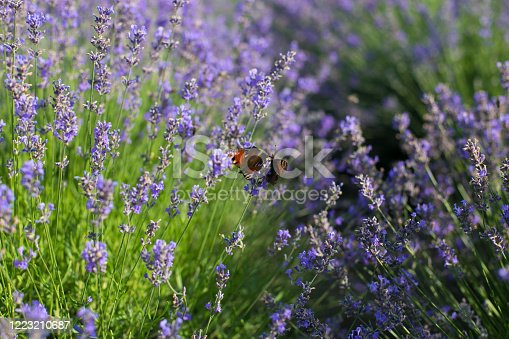 Butterfly sits on a lavender flower