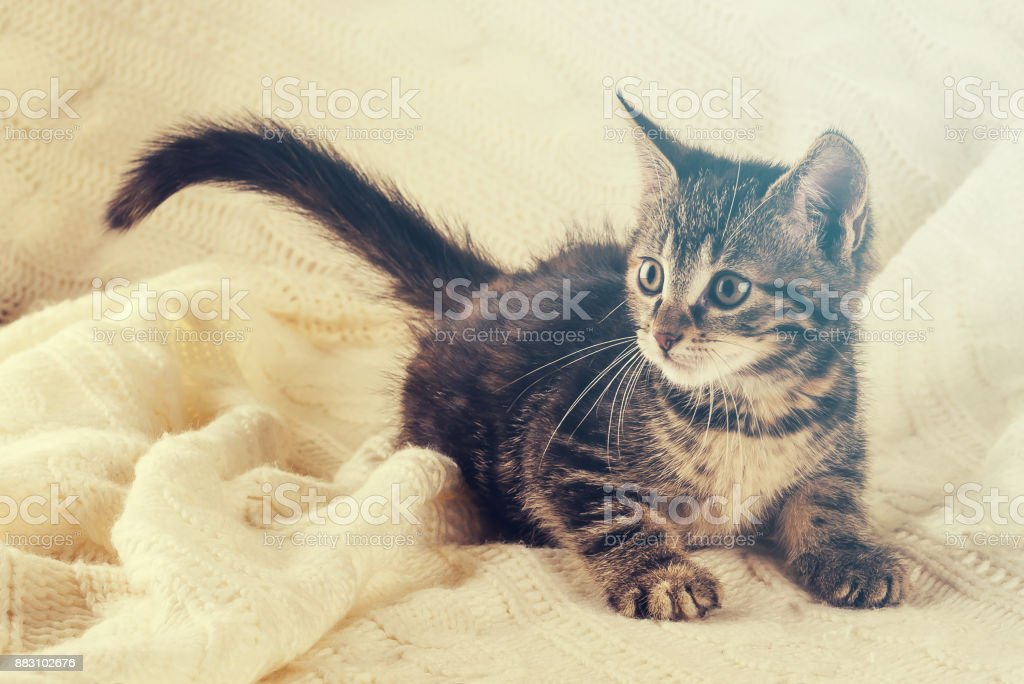 Horizontal photo of nice colorful striped few weeks old kitten. Cat has white and tabby color. Animal is standing on white knitted blanket. Nice warm light is shining from background. stock photo