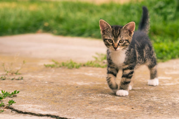 Horizontal photo of single kitten. The cat has nice dark tabby fur with white chest and paws. The baby animal walks on concrete in the garden with grass in background. stock photo