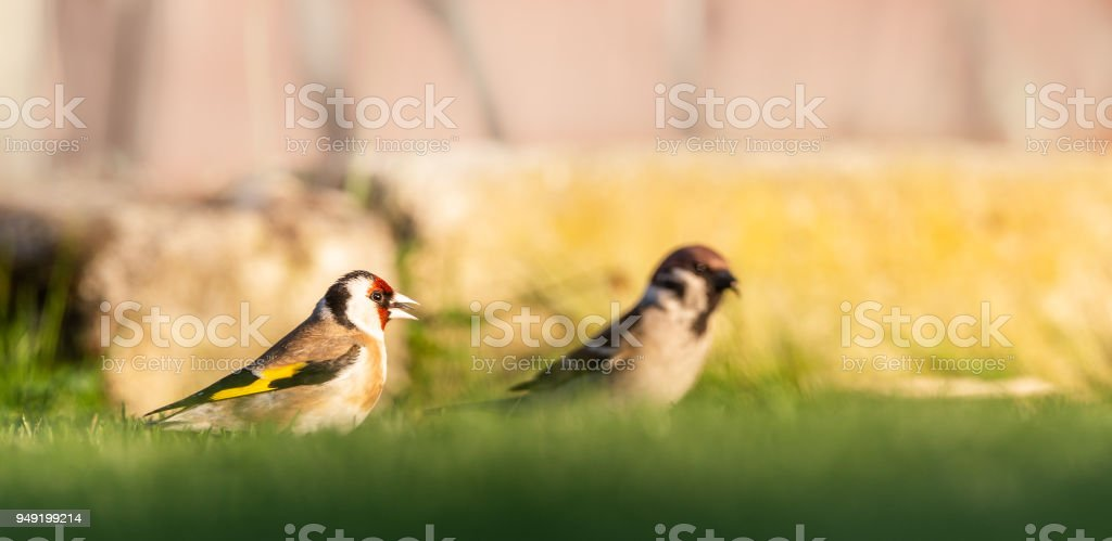 Horizontal photo of single male goldfinch. The bird has nice brown, white, red black and yellow color. Animal is perched on ground with male sparrow and looks for seeds in green grass. stock photo