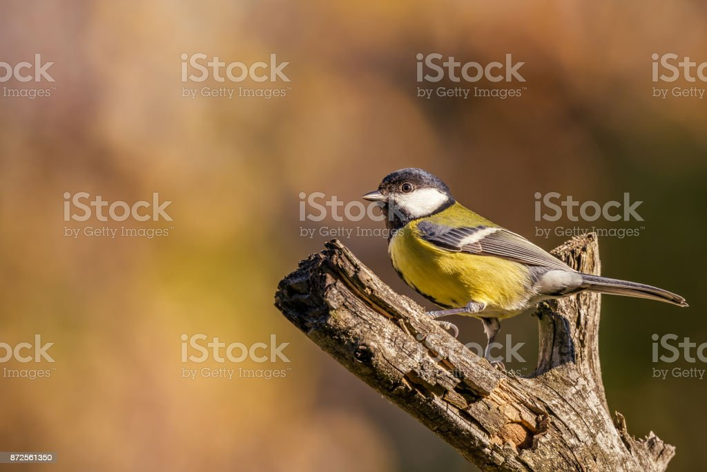 Horizontal photo of single male great tit bird. The songbird has yellow, black and white feathers. Avian posing on dry worn twig. Background is blurred with autumn warm colors. stock photo