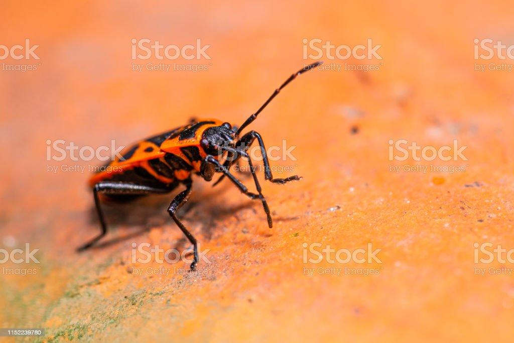 rote käfer garten