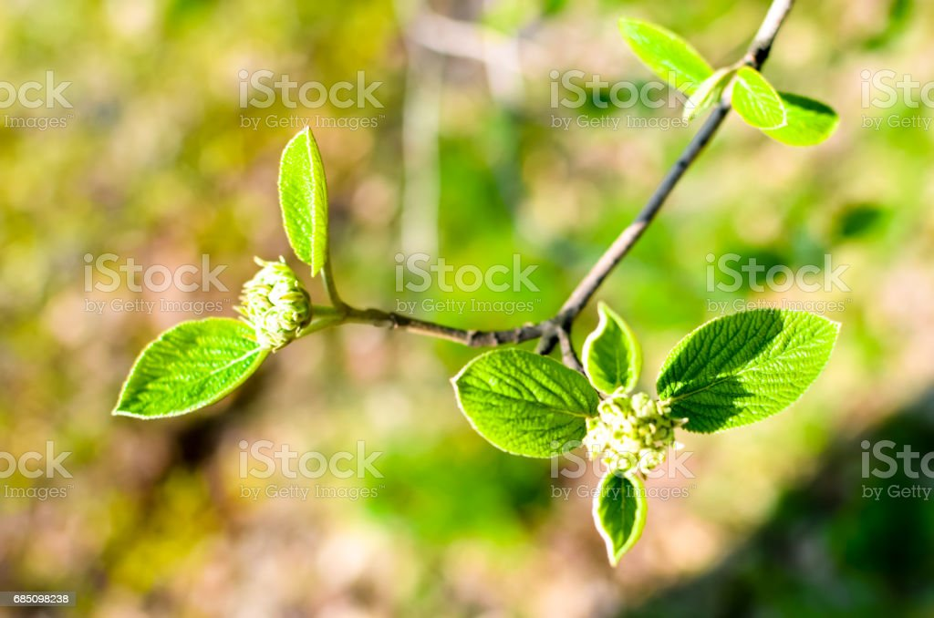 Horizontal photo of tree brunch with fat green lovely leaf bud royalty-free stock photo