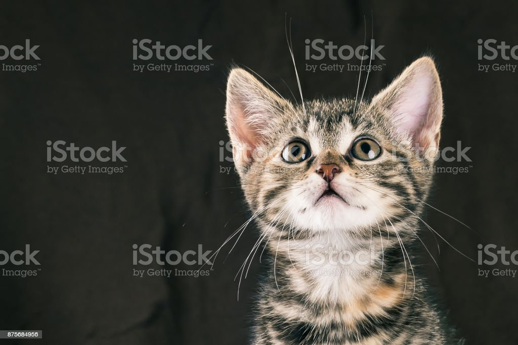 Horizontal Photo With Portrait Of Few Weeks Old Kitten Baby Cat Has Tabby Fur With Red Spots And White Chin Only The Face Is Visible Dark Brown Blanket Is In Background Cat