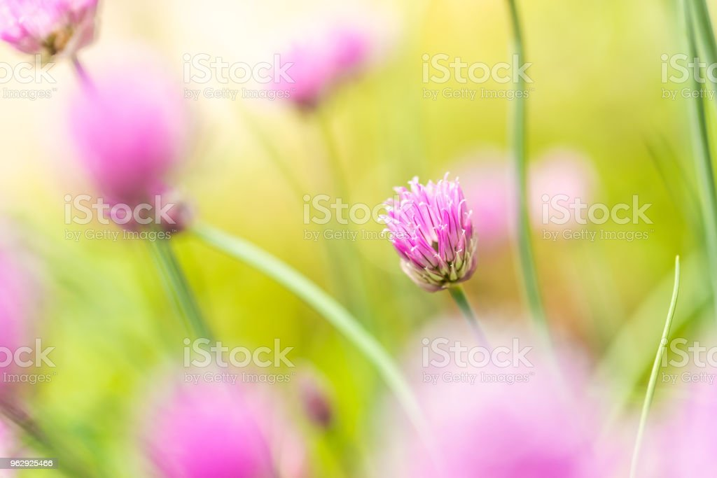 Horizontal photo with small chive bloom. Bloom has nice pink / purple color and consists of many small colorful leaves. Other blooms are around on green background. stock photo