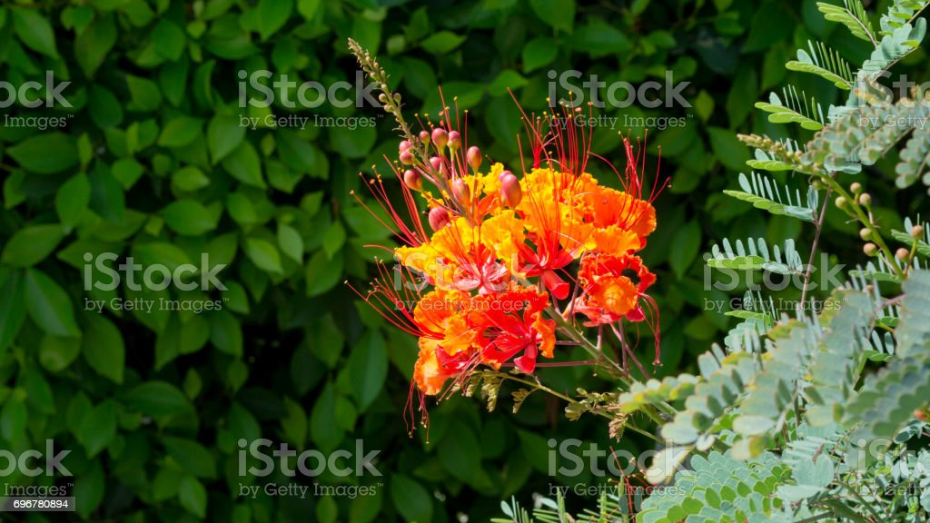 Horizontal picture of a Bloom of the Bird of Paradise stock photo