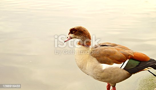 Horizontal photograph of a drake standing by a water body. The body of the duck is white and its eyes, beak, head, feathers are brown. It stands by a still lake, which can serve as copy space.