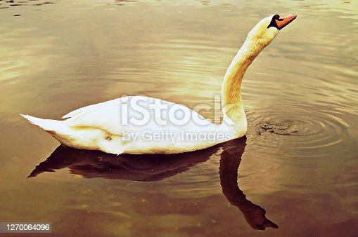 Horizontal photograph of a duck afloat on a water body. The body of the duck is white and its long neck is stretched out. There are waves on the water formed by duck swimming.