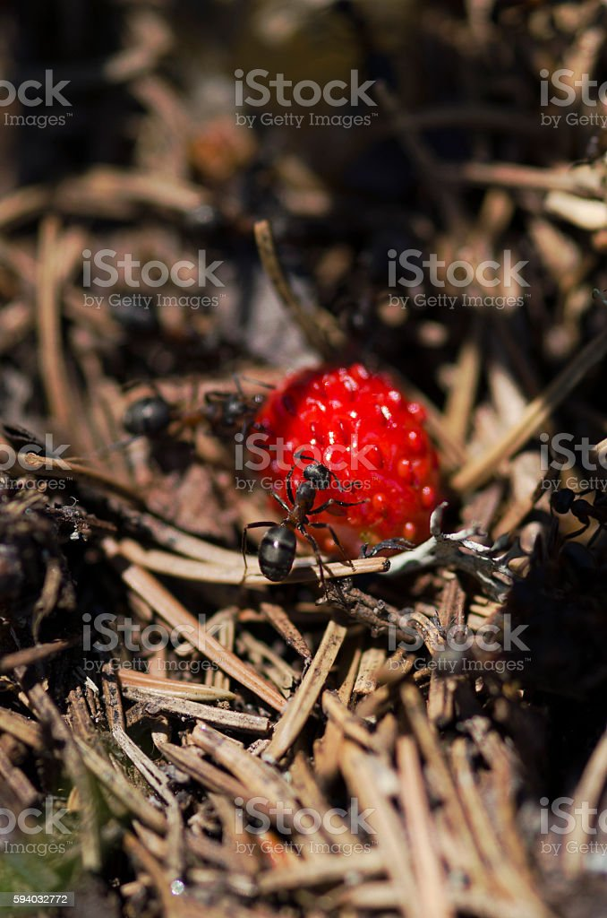 Horizontal shot of wild strawberry and ants stock photo