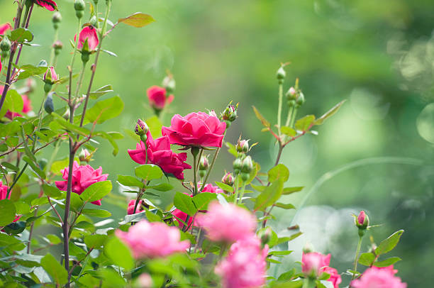 Best Rose Garden Stock Photos Pictures Amp Royalty Free