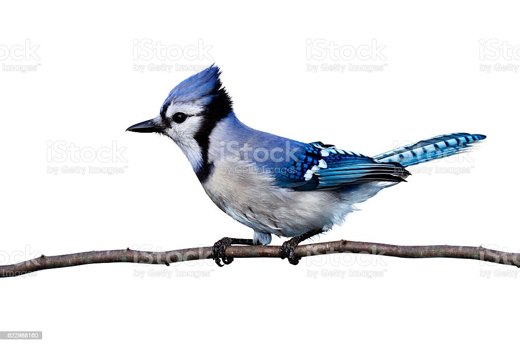 horizontal view of bluejay perched on a branch stock photo