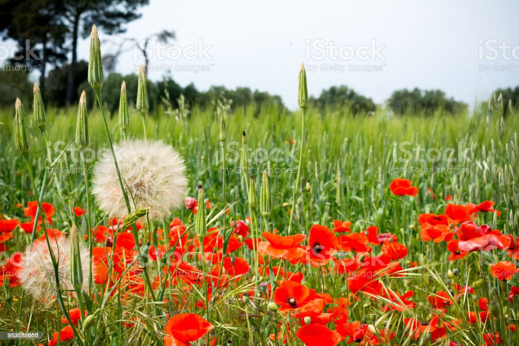 Horizontal View of Close Up of a Couple of Araxacum Officinalis, on blur Poppies Field Background. Talsano, South of Italy stock photo