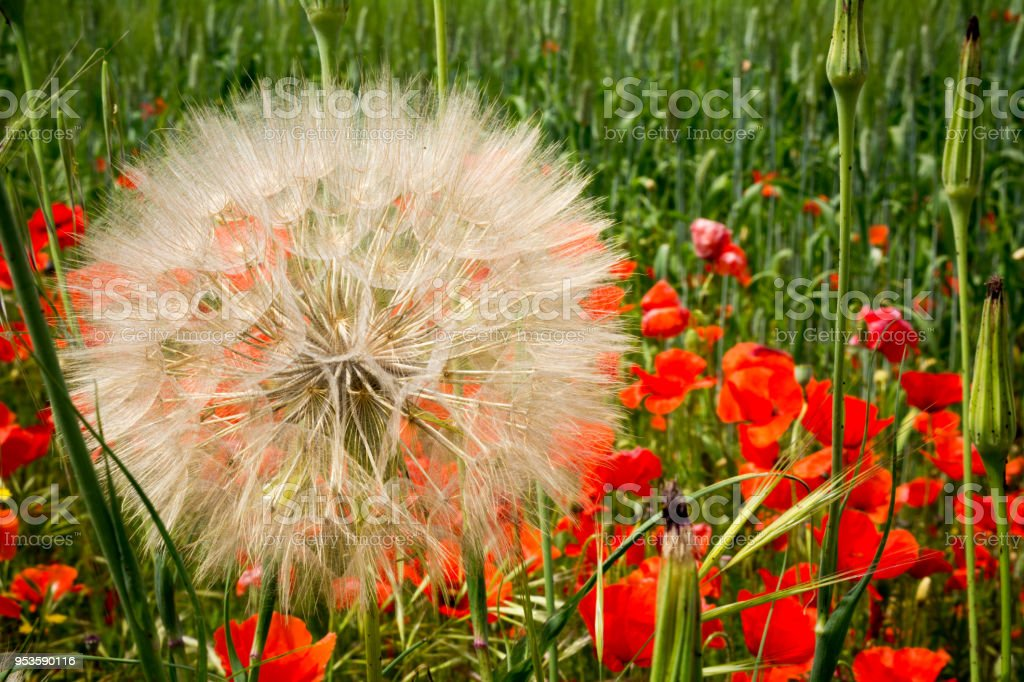 Horizontal View of Close Up of Araxacum Officinalis, on blur Poppies Meadow Background stock photo