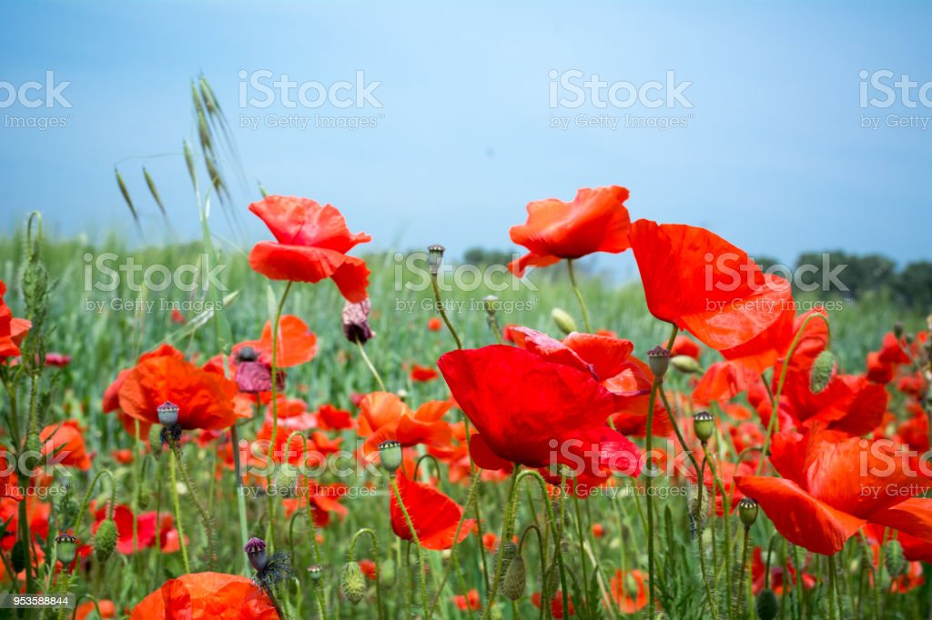 Horizontal View of Close Up of Poppies Meadow on blur Background. Talsano, South of Italy stock photo