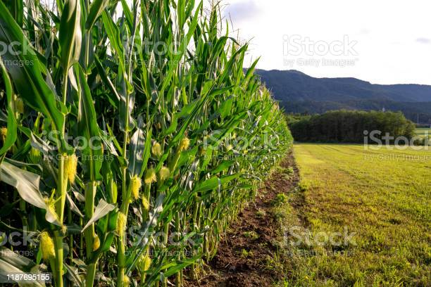 Photo of Horizontal view of the edge of a Cornfield - stock photo